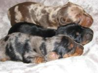 RARE Dapple Dachshund MINI mini Puppies: Wiener Dogs!