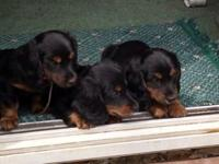 I have 2 females and 1 male. they are CKC registered,