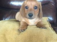SOLD !! Hello. I have one mini dachshund puppy. He is