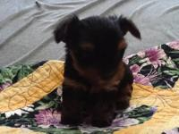 Black and brown coated female mini pinscher, only 11