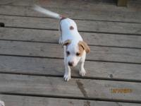 We have 2 male pitbull and jack russell mix pups. The