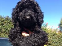 We have an adorable mini poodle puppy. She is just