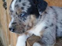 Australian Shepherd (Aussie) / Chihuahua puppies.
