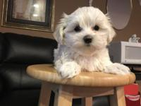 Affectionate mini Toy Maltese Puppies Hypoallergenic