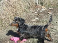 Adorable dapple long haired dachshund female 6 months