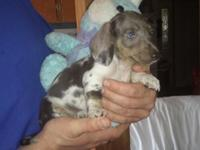 Easter Puppies  $500.00 OBO for the males $650.00 OBO