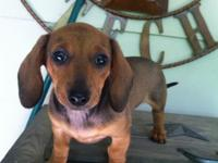. Last little woman! Adorable miniature Dachshund puppy