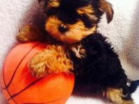 This little guy is a morkie. He is the runt of his