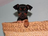We have three lovable Miniature Pinscher puppies