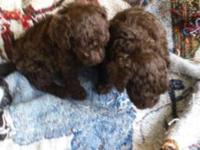 Adorable miniature poodle puppies, Males and Females