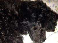 Adorable miniature poodle puppies looking for loving
