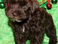 MINI SCHNAUZER FEMALE Chocolate. This lovely, soft,