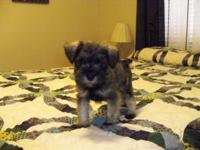 Dakota is an awesome salt & pepper male miniature