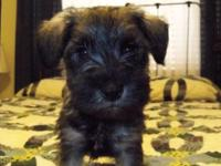 Trooper is an awesome salt & pepper male miniature