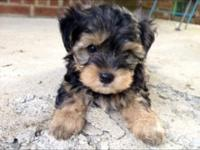 Brayden is a gorgeous little man Morkie. He is a