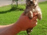 Adorable female Morkie puppy. Will be small should be