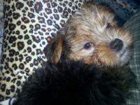 Adorable 8 week old morkie baby boy. Mom is a 8 pound