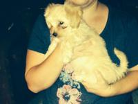 9 week old morkie (maltese and yorkie) Male. Has