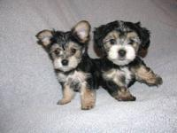 Super cute and lovable morkie puppies. We have 4 boys.