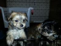 This is a beautiful litter of Morkie dogs. I have 4