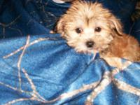 I have 3 morkie puppies looking for their forever