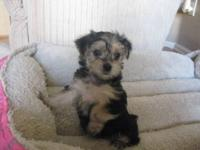 We have 3 beautiful Morkie puppies (2 female / 1 male)