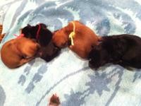 Adorable Morkie Babies for Adoption! RESERVE NOW! 3