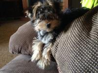 I have a charming 4 month old male morkie puppy that is