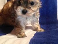 He is an adorable Teacup Morkie puppy,He is sandy