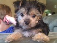 Adorable Morkie! Adopted this Morkie 1 week ago, needs