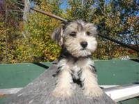 Adorable little Morkie Puppy. He is 8 weeks old and