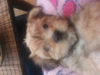 We have a teddy bear faced, absoluteley adorable Morkie