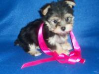 * We have the cutest Morkies you'll find!!!!! Most of