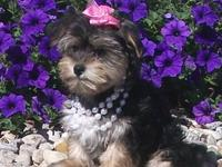 Adorable Morkie (Yorkie/Maltese) Puppies Tiny Toy & Toy