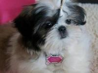 Adorable morkiechon puppies for adoption. The great