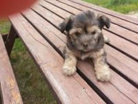 Three Adorable 8 week old Morkies for sale. Both