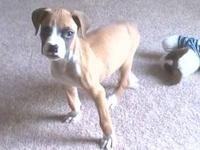 We have 6 cute, loveable boxer puppies that were born
