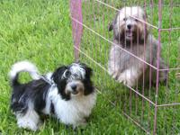 Adorable, non-shedding Havanese puppies are looking for
