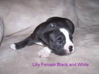 We have 3 adorable Olde English Bulldogges left. They