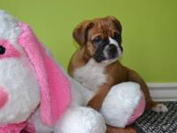 Adorable sweet Olde English Bulldogge puppies. Males