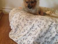 Adorable orange sable toy female Pomeranian available