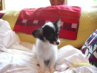 ADORABLE MALE PAPILLON PUPPIES ALL PUPPY SHOTS UP TO