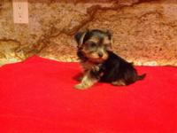 I have 2 adorable females parti Yorkie, they are 8