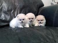 Animal Type: Dogs Breed: Pomeranian Adorable Pedigree
