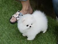 This adorable Pedigree  Pomeranian puppies