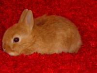 Adorable Pedigreed Netherland Dwarf Kit. Deep, dark