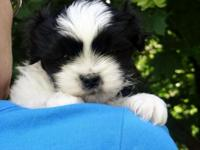 Male Pek-A-Tese puppy looking for a great home. Dad is