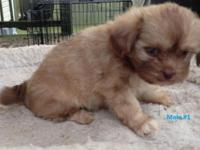 Adorable 7 week old Pek-Shih-Poo young puppies will be
