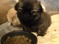 I have three cute Pekingese puppies for sale. These are