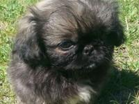 We currently have 2 gorgeous male Pekingese puppies.